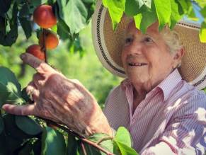 Shirley Ela picking apricots by feel