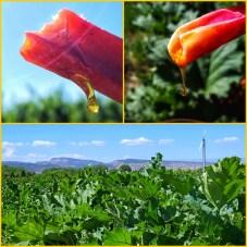Heirloom Green Rhubarb dipped in honey