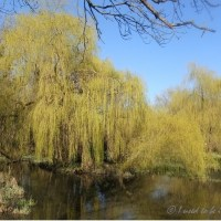 blue sky and weeping willows