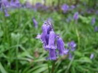 bluebell stem