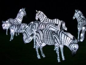 Longleat zebras 2