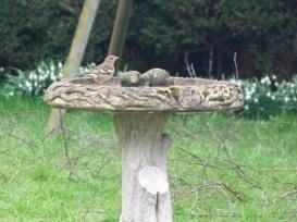 chaffinch on the birdbath