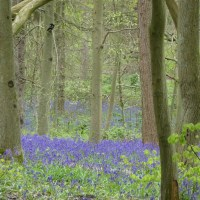 Bluebell time!