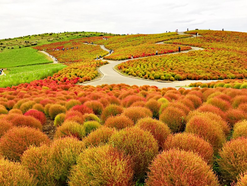 Hitachi Seaside Park, Ibaraki. There is 8 different type of gardens here. The photo taken is in Miharashi Area. The summer cypress is turning green to crimson. You can check out more here #autumn