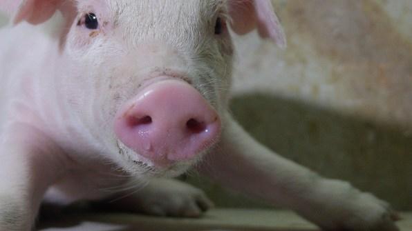 06-TinNyo_This_Little-Piggy_Portrait4