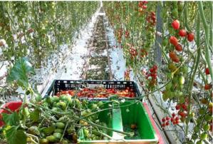 Dezvăluirile unui angajat român:Câți bani fac firmele care aduc muncitori la cules de roșii în Olanda