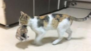 O pisică și-a cărat puiul bolnav la spital. L-a lăsat doar când a ajuns la medic
