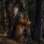 fotografia tigrului