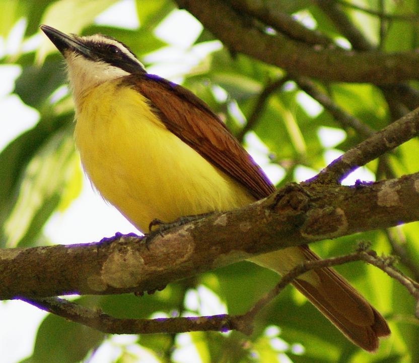 Conociendo las Aves del Jardn Botnico del Orinoco