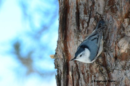 White Breasted Nuthatch Feb2016 Resize 1500px