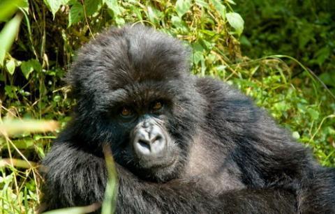gorilas1_0