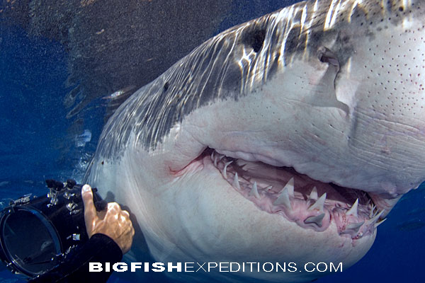 White shark trip