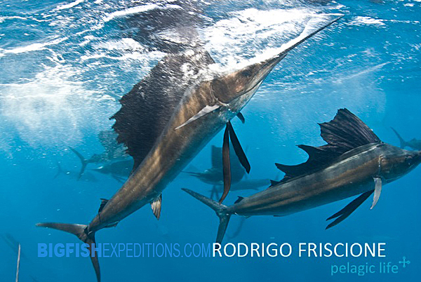 diving with sailfish