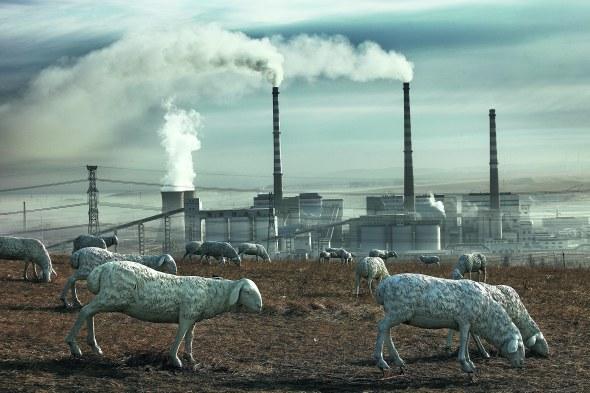 Mundo de carbón. Ovejas artificiales de tamaño real; interior de Mongolia, abril de 2012. © Lu Guang. Cortesía Contact Press Images.