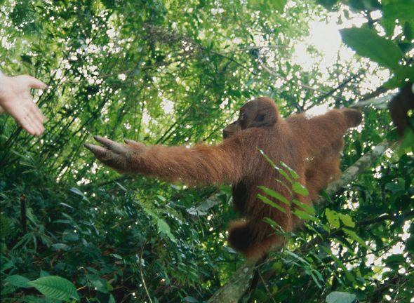 Fotografía realizada en el Parque Nacional de Gunung Leuser en Sumatra. Foto: Eduardo Aznar.