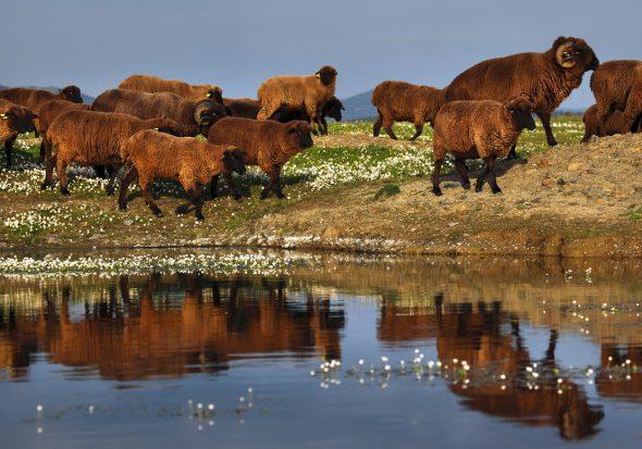 Rebaño de ovejas merinas de la ganadería ecológica Cabello Bravo en Siruela, Badajoz. Foto: © Gema Arrugaeta.