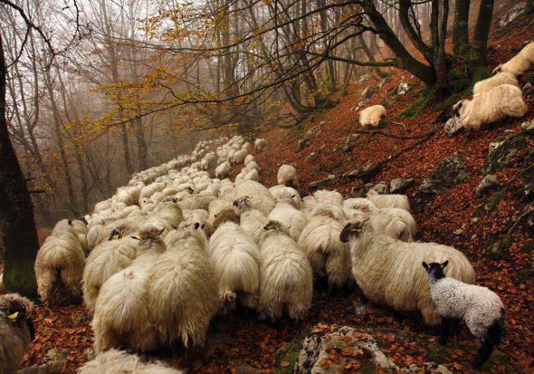 Rebaño de oveja latxa en la sierra de Aizkorri en Guipúzcoa, camino del municipio de Idiazábal. Foto: © Gema Arrugaeta.