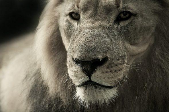 León  africano. Foto: Pixabay.