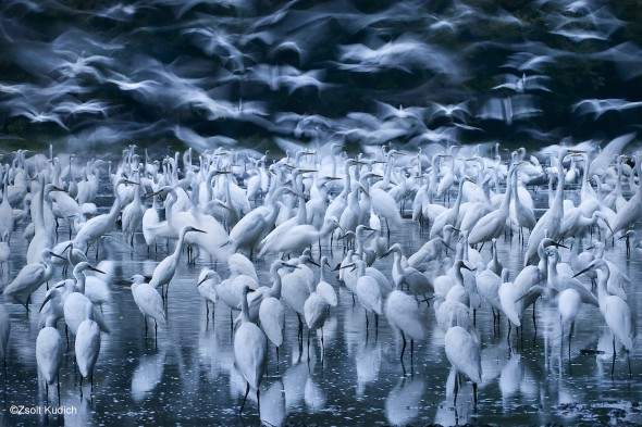 26. Zsolt Kudich, Great egret awakening