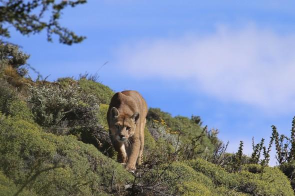 Un bellísimo ejemplar de Puma se acerca. Foto: Andoni Canela.