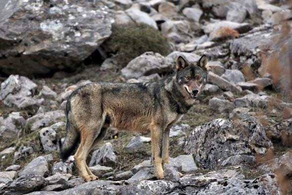 Ejemplar de lobo ibérico fotografiado por Andoni Canela.