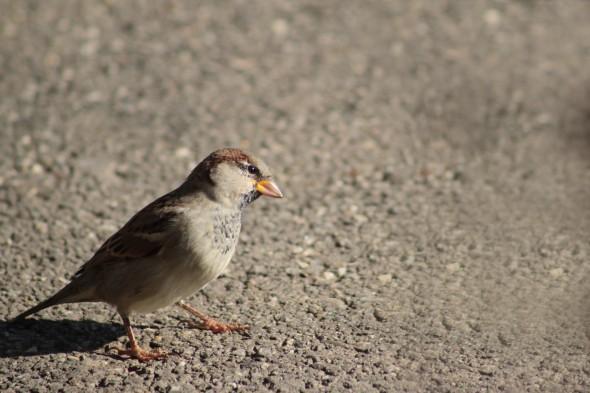 Un gorrión común. Foto: Jörg Prohaszka