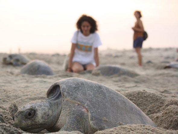 Llegada de las tortugas a la playa Escobilla en México. Foto: Asociación Kowa
