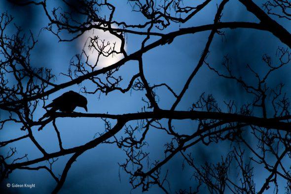 """La luna y la corneja Gideon Knight, Reino Unido Joven Wildlife Photographer of the Year 2016 Al ver una corneja en el parque, Gideon pensó que las ramitas largas y menudas del sicómoro """"le hacían sentir algo sobrenatural, como sacado de un cuento de hadas"""". Pero el ave se movía, haciendo difícil mantener la silueta encuadrada contra la luna. Finalmente, justo cuando la luz estaba cayendo, Gideon convirtió un momento ordinario en algo mágico. Las parejas de corneja negra se aparean de por vida, juntas construyen sus nidos y atienden al cuidado de sus crías. A menudo confundidas con grajos, aves más sociables, las cornejas negras son ferozmente territoriales y se las puede ver más a menudo en solitario. Estas aves carroñeras altamente inteligentes se han adaptado bien a vivir cerca de los seres humanos, jugando un papel importante en el ecosistema urbano."""