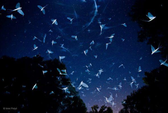 Un enjambre bajo las estrellas Imre Potyó, Hungría Diversidad de la Tierra, Invertebrados Imre estaba cautivado por la masa caótica del enjambre de efímeras que había a su alrededor en la orilla del río Raab. Justo después de la puesta de sol, los insectos empezaron a llenar el aire con millones de las alas de seda, sofocando a Imre y a su equipo. Haciendo una doble exposición en la cámara y usando una linter-na, pudo capturar las efímeras y las estrellas. Cada año, un gran número de efímeras adultas emergen de este afluente del Danubio, habiendo pasado la mayor parte de su vida bajo el agua. Volando sólo unas pocas horas, se dispersan para abrumar a los depredadores y mejorar sus posibilida-des de encontrar una pareja. La vuelta de estos insectos -sensibles a la contaminación-a algunos ríos europeos es la prueba de que los esfuerzos de limpieza están funcionando.