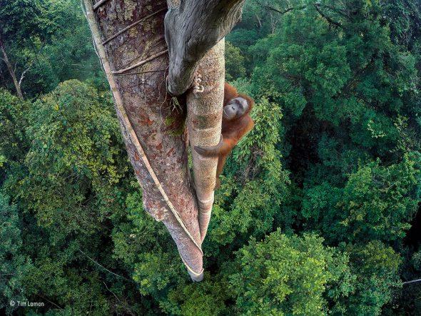 Vidas entrelazadas Tim Laman, Estados Unidos Wildlife Photographer of the Year 2016 En lo alto del árbol, un joven orangután macho regresa al banquete de higos. Tim sabía que volvería. Tras tres días de subir y bajar había escondido varias cámaras GoPro en el árbol, y disparó de forma remota desde el bosque cuando vio al orangután trepar. Tim había visualizado previamente este disparo, mirando hacia abajo y encuadrando al orangután dentro del bosque. A veces conocidos como los jardineros del bosque, los orangutanes de Borneo son muy inteligentes. Como los humanos, manifiestan culturas diferentes en grupos diferentes y representan comportamientos y tradiciones únicas. A los orangutanes en Borneo se les ha visto usando hojas a modo de servilletas para limpiarse la barbilla, construyendo toldos para generar sombra por encima de sus nidos e incluso elaborando paraguas para protegerse de la lluvia en los aguaceros tropicales.