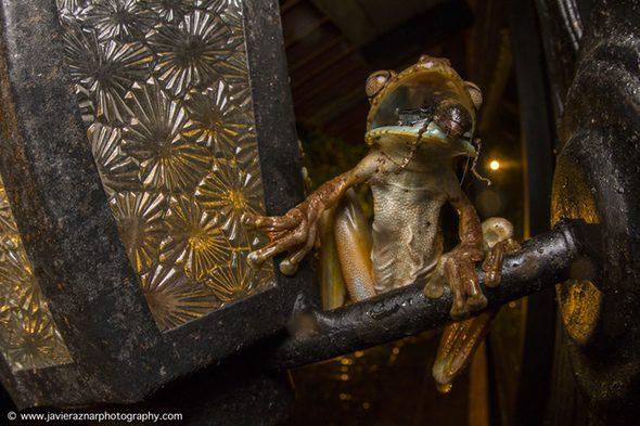 El gladiador. Foto de Javier Aznar. Una rana come un insecto durante una noche de marzo en la frontera entre Ecuador y Colombia.