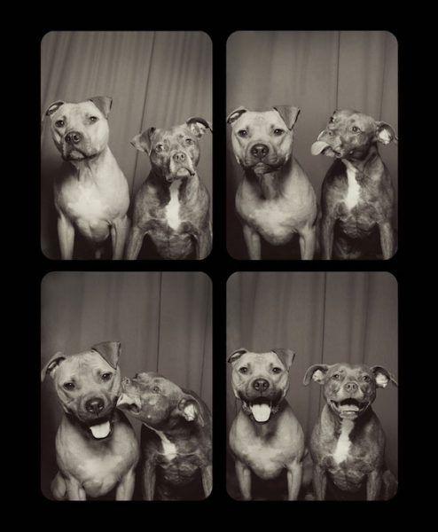 Los pitbulls Bumper y Willis en el fotomatón perruno.