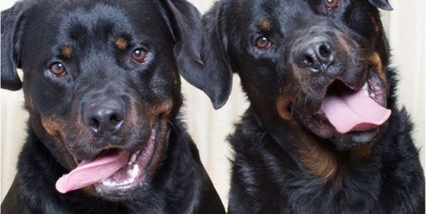 Rottweilers en el fotomatón perruno de la fotógrafa Lynn Terry.