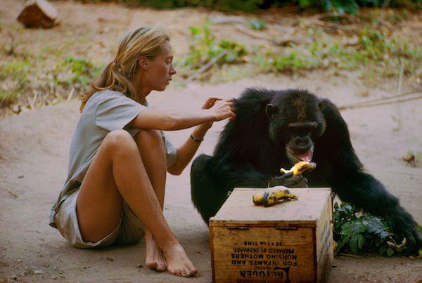 Gombe, Tanzania. David 'Barbagris' fue el primer chimpancé en perderle el miedo a Jane Goodall. No dudaba en adentrarse en el campamento a robar plátanos y permitía a la primatóloga que le tocara.(National Geographic Creative/ Hugo van Lawick)
