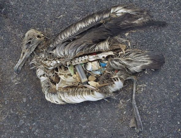 El cadáver de un albatros muerto por ingerir grandes cantidades de plásticos en el océano. Foto: Creative Commons.