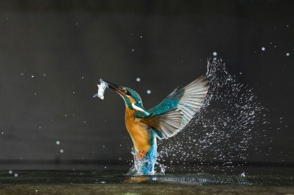Un martín pescador en plena acción. Foto: Wild Wonders of Europe / Lazlo Novak.