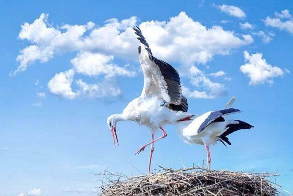 Una pareja de cigüeñas. foto: Pxhere.