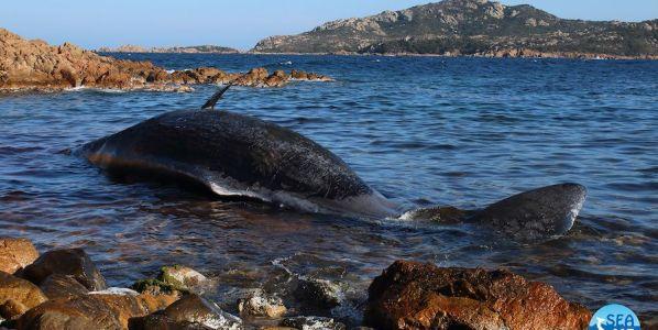 La cachalote varada en Sardinia (Cerdeña) estaba embarazada y tenía, según los investigadores, 22 kilos de plástico en su interior. Foto: SEAME.