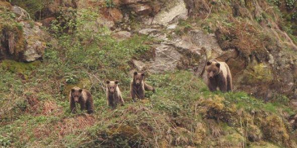 Una familia de osos pardos.