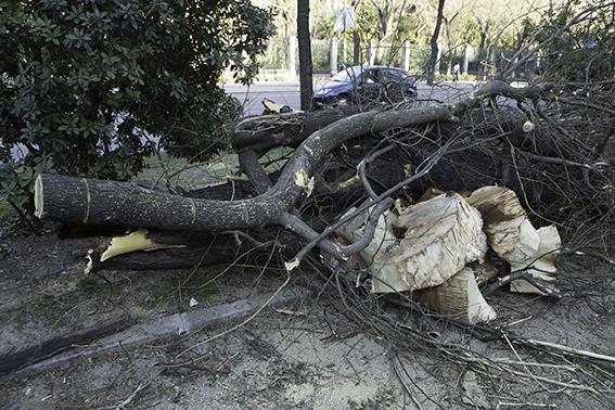 Restos de árboles talados en el Paseo del Prado de Madrid. Foto: José Manuel Ballester.