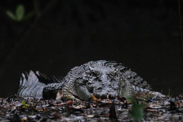 Un impresionante ejemplar de cocodrilo en Australia fotografiado por Andoni Canela.