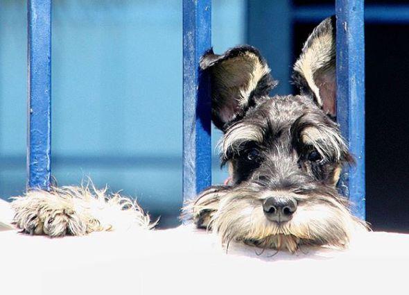 El pequeño schnauzer Truman asomado a un balcón. Foto: Manuel Cuéllar.