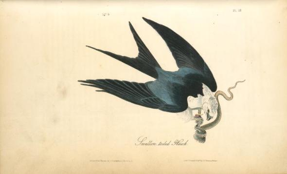 Halcón de cola de golondrina. Dibujo de John James Audubon (1840).