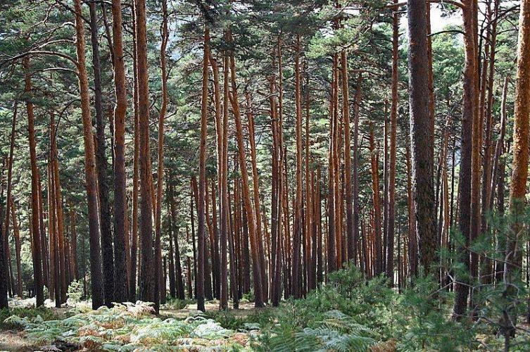 Pinar de la Sierra de Guadarrama. Foto: Pixabay.