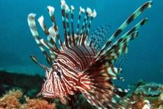 lionfish-habitat