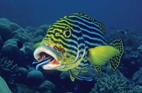 cleaner-wrasse