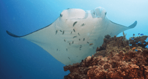 Manta_alfredi_at_a_'cleaning_station__-_journal.pone.0046170.g002B