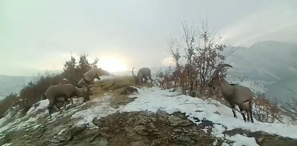 Doğaya bırakılan yemleri yiyen yaban keçileri ve kuşlar görüntülendi