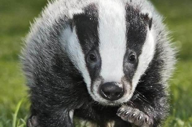 للانستقرام badger-animal-2.jpg