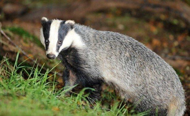 للانستقرام badger-animal-3.jpg